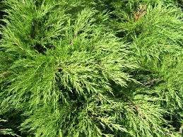 10 tipos de rboles para decorar el jard n for Tipos de pinos para jardin