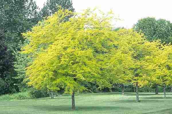 10 tipos de rboles para decorar el jard n for Arboles de hoja perenne para jardin