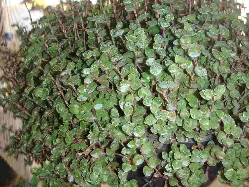 Plantas para jardines verticales o azoteas verdes - Plantas para jardin ...