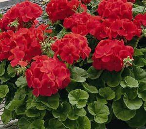plantas para jardines verticales geranium