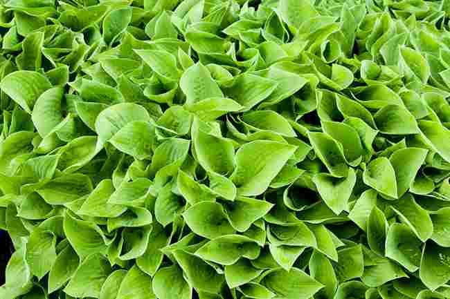 Plantas para jardines verticales o azoteas verdes for Plantas para jardin