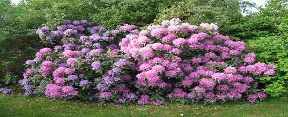 Plantas trepadoras para jardines verticales for Arbustos jardin pequeno