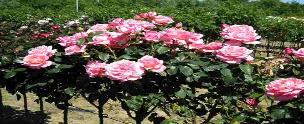 Arbustos para jardines verticales y sus beneficios for Arbustos para jardin con flores
