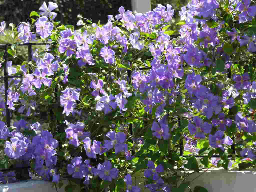 Plantas trepadoras para jardines verticales for Arboles de hoja perenne que crece rapido