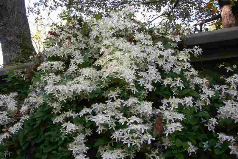 Plantas trepadoras para jardines verticales - Plantas trepadoras para pergolas ...