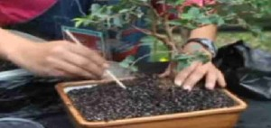 Como sembrar un bonsái