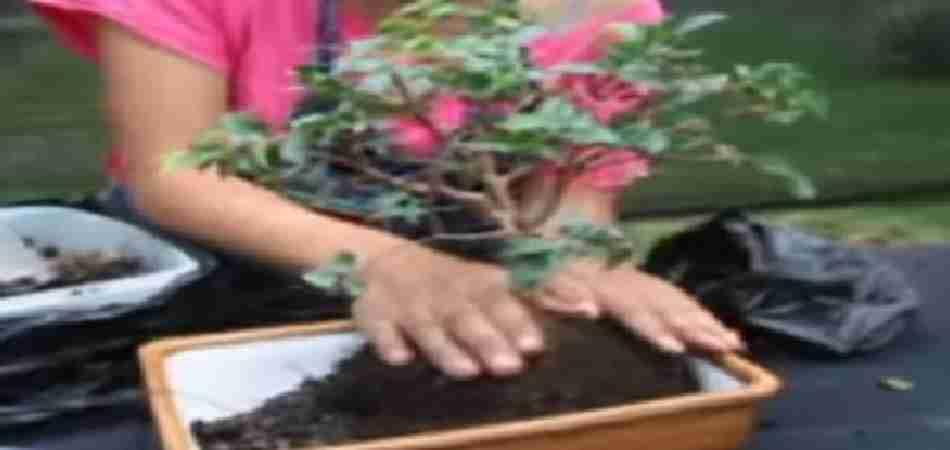 Como sembrar un bons i por primera vez for Como cultivar bonsais