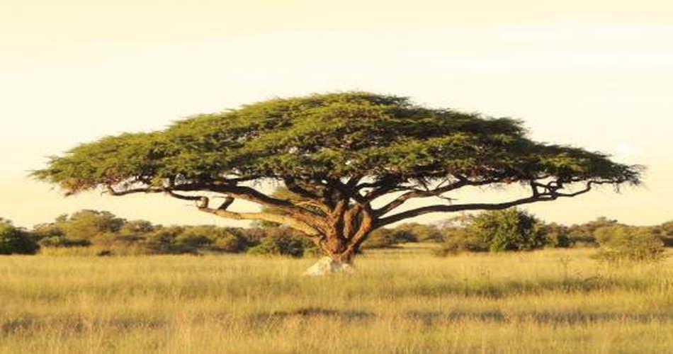 Arbol-resistente-sol-Acacias