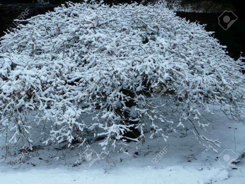 Los mejores arboles resistentes al frio para tu patio for Tipos de pinos para jardin fotos