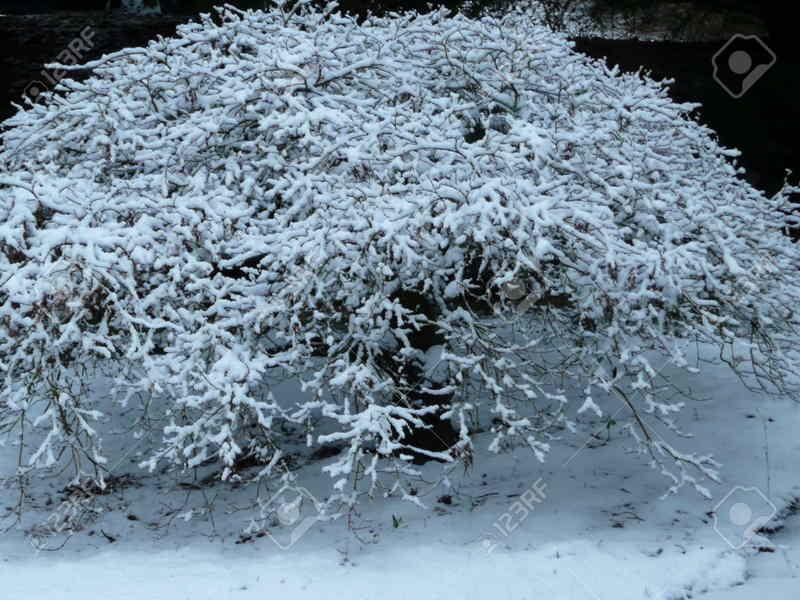 Los mejores arboles resistentes al frio para tu patio for Tipos de pinos para jardin