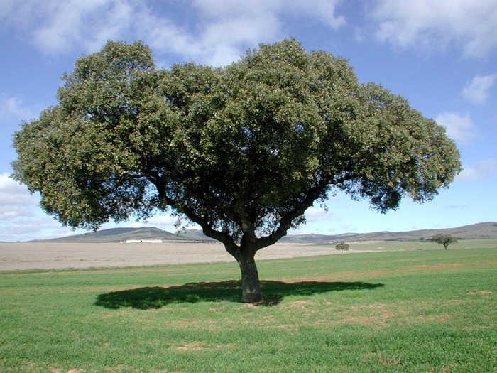 Los mejores arboles resistentes al sol for Las caracteristicas de los arboles
