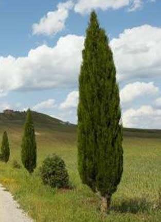 Arboles resistentes a la salinidad para decorar tu patio for Tipos de pinos para jardin fotos