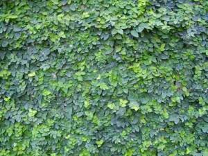 Tipos de especies para el jardín vertical